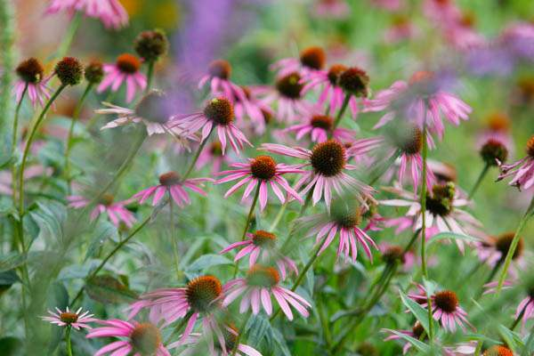 Purple-cone-flower-in-the-rain-garden-at-Beatrice-Miringu