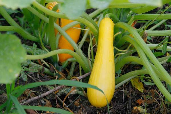 Squash-in-the-garden-of-Beatrice-Miringu