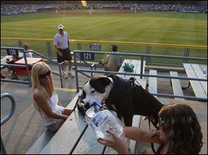 Crystal Lamphier watches her friend Chelsea King give water to Brutus, a pit mix adoptee, during dog night at Fifth Third Field in Toledo, Ohio.