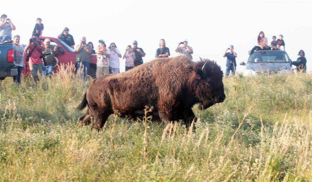 Bison-released