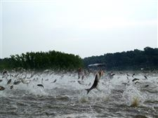 CORRECTION-Asian-Carp-Fears-8-26