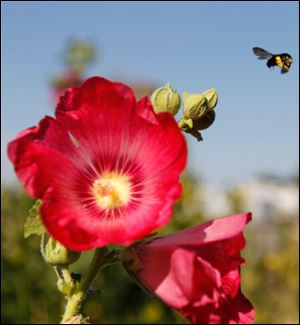 A bee flies away from a hollyhock.
