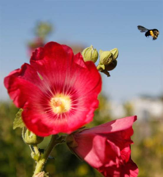 A-bee-flies-away-from-a-hollyhock