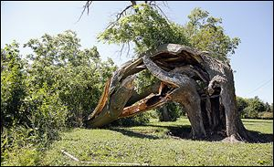A hackberry tree, believed to be  about 200 years old and used by Native Americans in the 1800s to mark their trail, was blown over by a storm on Friday at Trail Marker Park in Woodville.