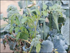 Broccoli side  shoots in the Scotts' garden.