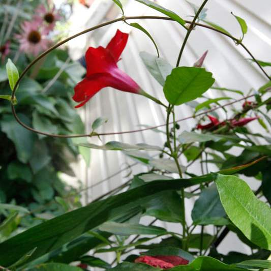 A-mandevilla-plant-is-known-to-attract-hummi