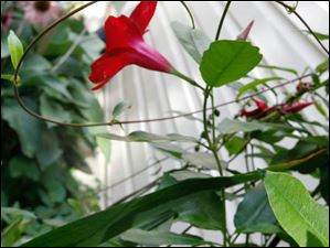 A mandevilla plant is known to attract humming birds, which was Marie F. McCarty's intention.