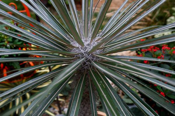 On-his-back-porch-is-a-Madagascar-palm