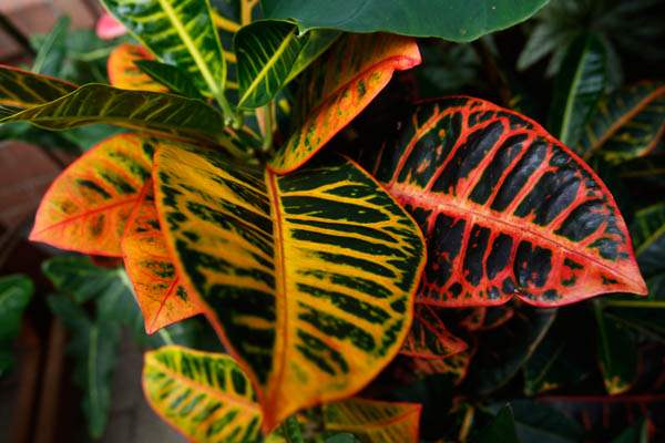 This-tropical-plant-is-a-croton