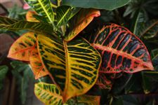 This-tropical-plant-is-a-croton-1