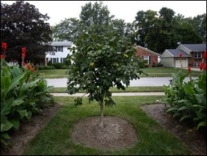 In the front yard, flanked by cannas, is a rose chestnut tree he purchased from the Toledo Botanical Garden.