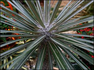 On his back porch is a Madagascar palm.