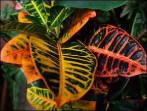 This tropical plant is a croton.