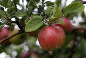 Volunteers will pick thousands of apples for the Seagate Foodbank at the Johnston Fruit Farm in Swanton from 10 a.m.-5 p.m. on Sept. 28. There will be games, crafts, music, and hayrides.