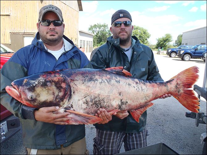 s6carp Biologists hold a 54-inch, 82-pound Asian carp caught in a Chicago urban retention pond. Illinois state officials believe it was stocked in the pond unintentionally along with catfish 10-20 years ago.