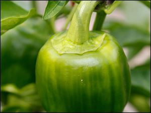A green pepper.