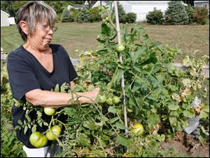 Linda Columbi picks tomatoes.