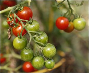 Cherry tomatoes in the Lakewood Villas garden.