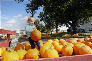 Avery Metroff, 2, of Sylvania picks a pumpkin at Gust Brothers. Area farmers say the pumpkin selection will be adequate this year.