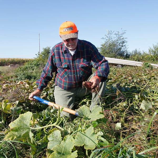 David-Moenter-digs-up-red-sweet-potatoes-in-his-Pemberville-garden