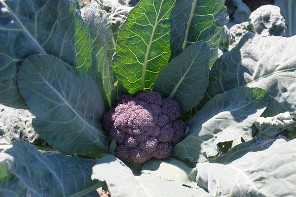A-purple-cauliflower-David-Moenter-s-favorite-fall-crop