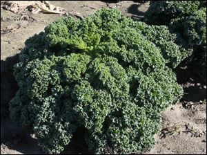 Curly kale, a late-season crop.