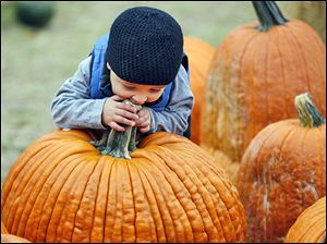 A youngster takes a bite of a giant pumpkin at Fleitz Pumpkin Farm in Oregon.