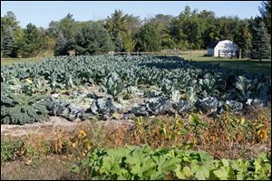 Kale, left, and three types of cauliflowers in one of David Moenter's three plots in rural Pemberville.