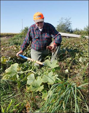 David Moenter digs up red sweet potatoes.