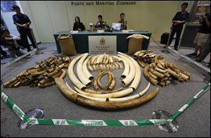 Elephant tusks are displayed after being confiscated by Hong Kong Customs in Hong Kong today.