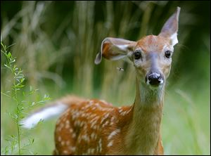 A whitetail deer fawn swats away a mosquito with an ear while foraging at one of the Metroparks.