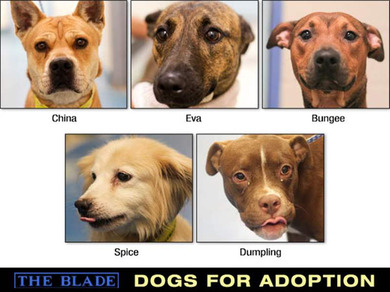Lucas-County-Dogs-for-Adoption-108-8