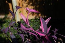 A-pot-of-moses-in-the-cradle-Tradescantia-spathacea-o