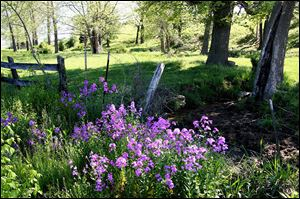 Phlox daisies which are among the many meadow flowers that can thrive in traditional landscapes -- even in city settings.