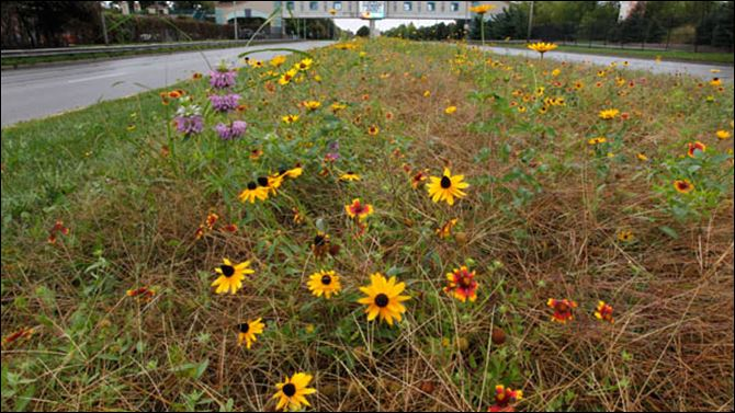 PEA trailplants05p The native plants at the Toledo Zoo Anthony Wayne Trail median in Toledo, Ohio.