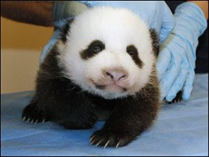 This photo provided by the Smithsonian's National Zoo shows Mei Xiang's giant panda cub.
