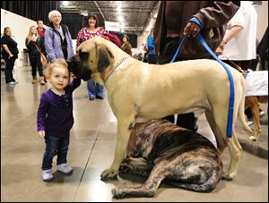 Seventeen-month-old Ariella Madgy of Hunting Woods, Mich., pets Mastiff Jordy, standing, and Bayli at the Detroit Dog show in January.