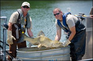 Employees from the Michigan Department of Natural Resources check grass carp they captured in Marrs Lake near Onsted, Mich. Grass carp have been confirmed in the Sandusky River.