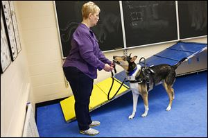 Jackson, a male Smooth Coated Collie, hands his leash to his handler Kathy Bowman.