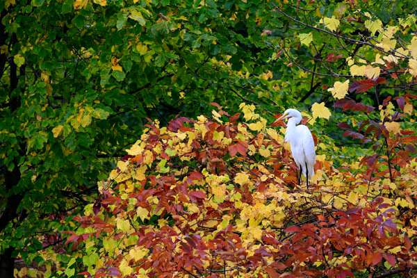 A-great-egret-perches-among-emerging-fall-color-at-the-c