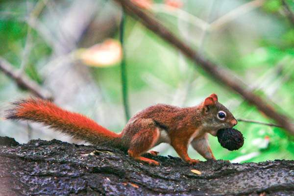 A-squirrel-carries-a-walnut