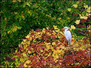 A great egret perches among emerging fall