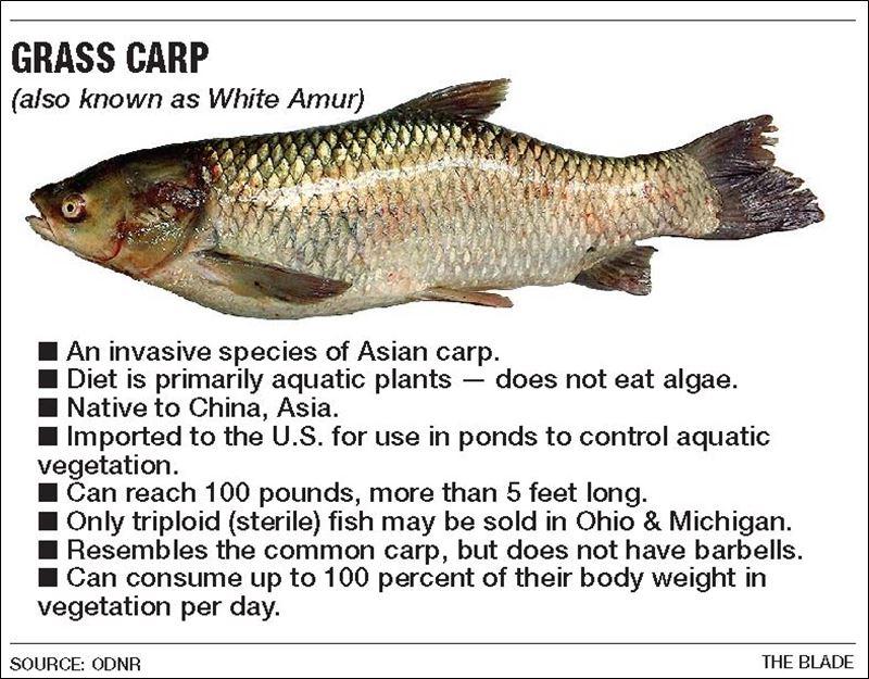Sandusky river grass carp an alarming discovery toledo blade for White amur fish