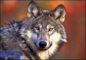 The gray wolf was nearly extinct in Michigan by 1960 and repopulated after being put on protected lists. Those safeguards have been removed.