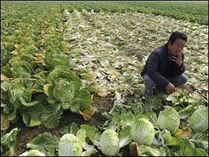 A farmer smokes amidst a cabbage field in Huaiyuan county in eastern China's Anhui province.