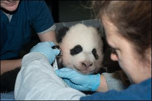 A newly named Giant Panda cub is measured Friday as it is about to turn 100 days old, at the Smithsonian National Zoo in Washington. The National Zoo announced today that it is naming its giant panda cub Bao Bao after receiving more than 123,000 votes from the public.