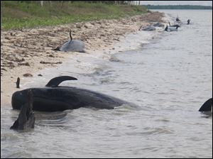 Pilot whales are stranded on a beach in a remote area of the western portion of Everglades National Park, Fla. Federal officials said some whales have died.
