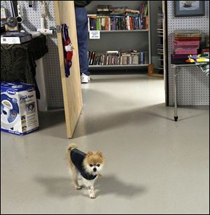 Rescue dog Molly, who is owned by director Mary Moser, walks around the new ReTail Shop on South Byrne Road.