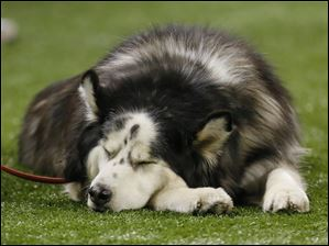 Diesel, the Northern Illinois University mascot, takes a nap during the fourth quarter.