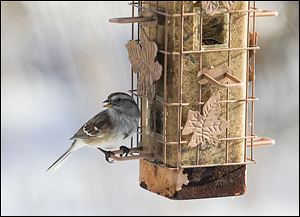 A sparrow visits a bird feeder at the W.W. Knight Nature Preserve in Perrysburg Township. Feeders are important for birds during the harsh Ohio winters.